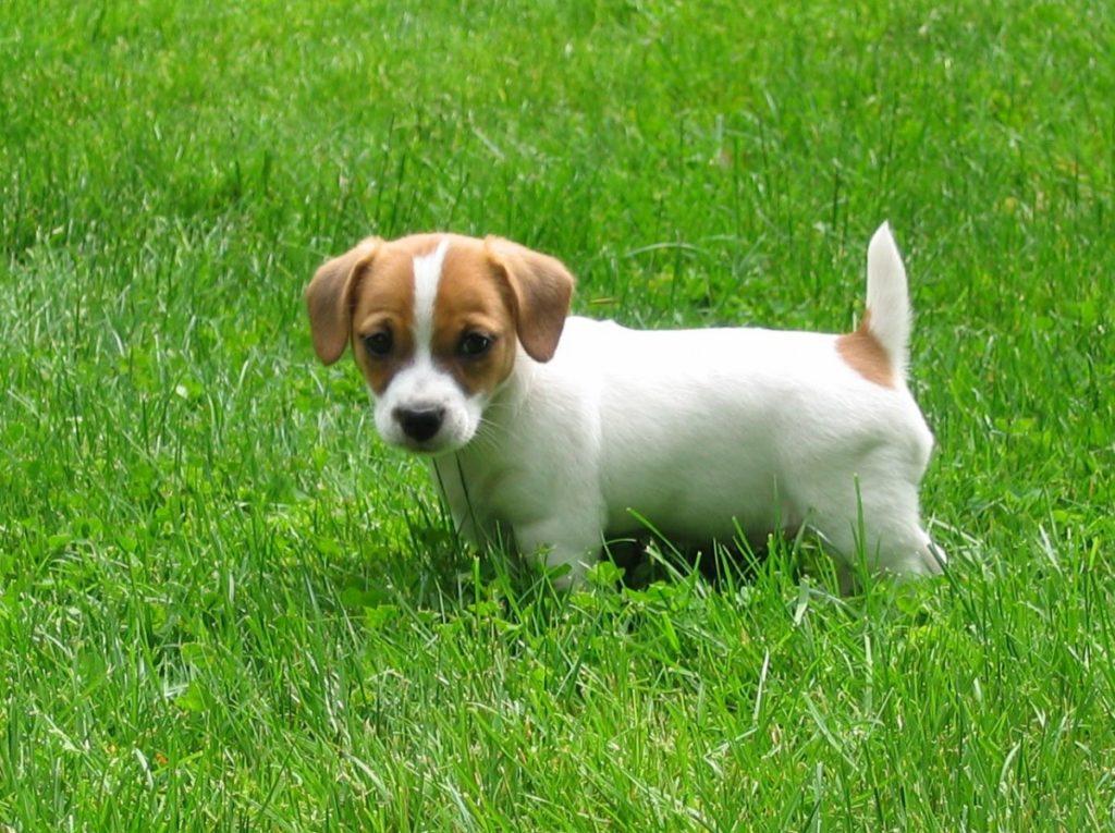 jack russell terrier: история происхождения, стандарт породы, воспитание.