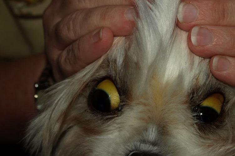 У песика желтуха