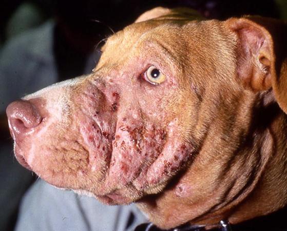 пилдермия у собак