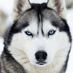 Породы собаки: Хаски