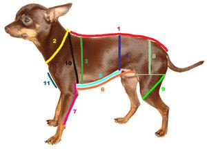 Как правильно снять мерки у собаки