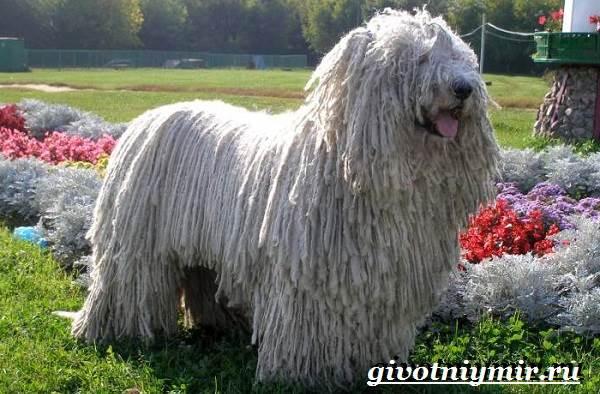 Пули-собака-Описание-особенности-уход-и-цена-породы-пули-4