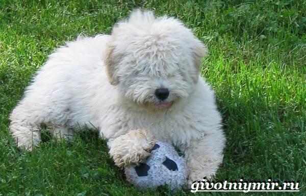 Пули-собака-Описание-особенности-уход-и-цена-породы-пули-8