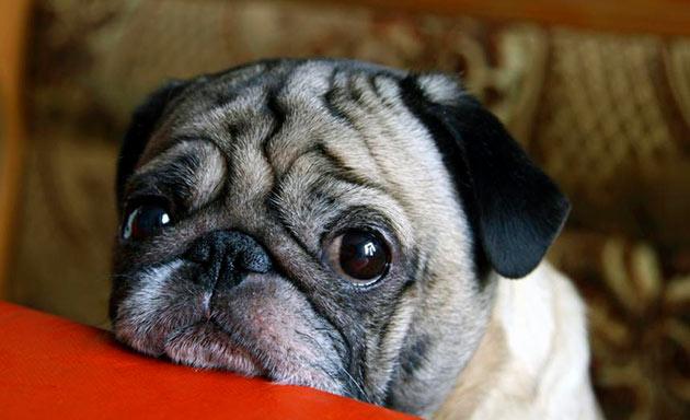 При конъюнктивите, собаке необходимо придерживаться строгой диеты