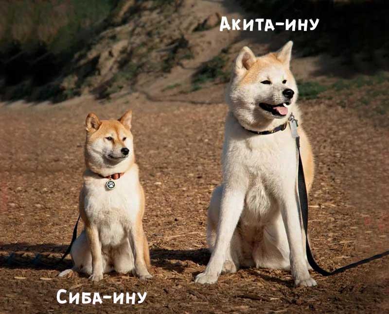 Акита ину и Сиба ину