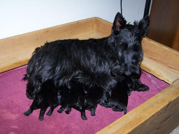 Фотогалерея щенки скотч терьера фото - 7