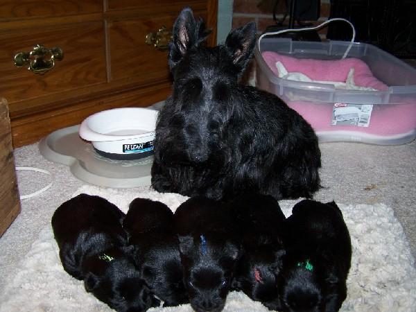 Фотогалерея щенки скотч терьера фото - 8