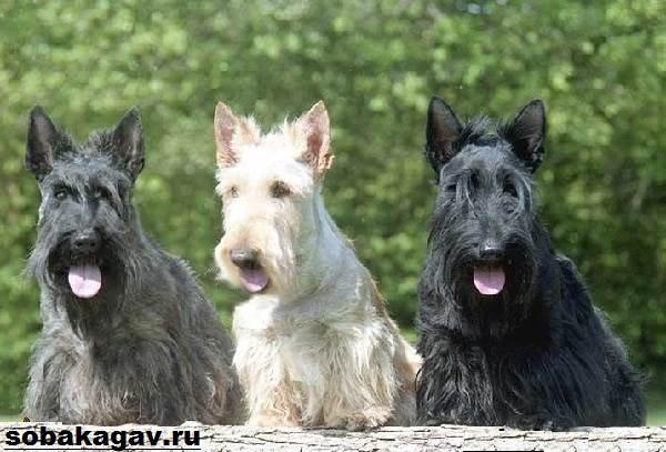 Скотч-терьер-собака-Описание-особенности-уход-и-цена-скотч-терьера-3