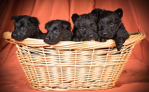 Чёрные щенята в корзине