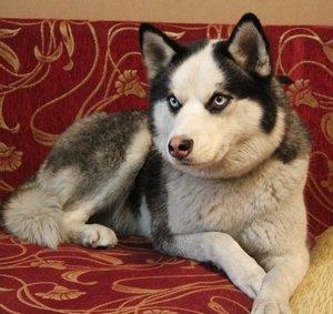 Собака Айза породы Хаски