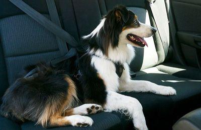 собака сидит в машине