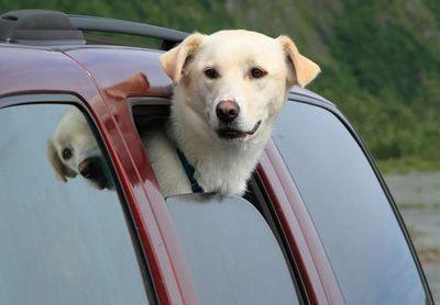 собака едет в машине с открытым окном