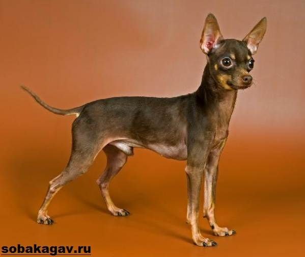 Той-терьер-собака-Описание-особенности-уход-и-цена-той-терьера-10