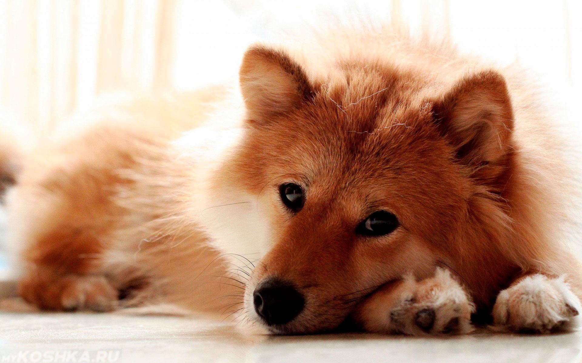 Собака лежащая на полу с открытыми глазами