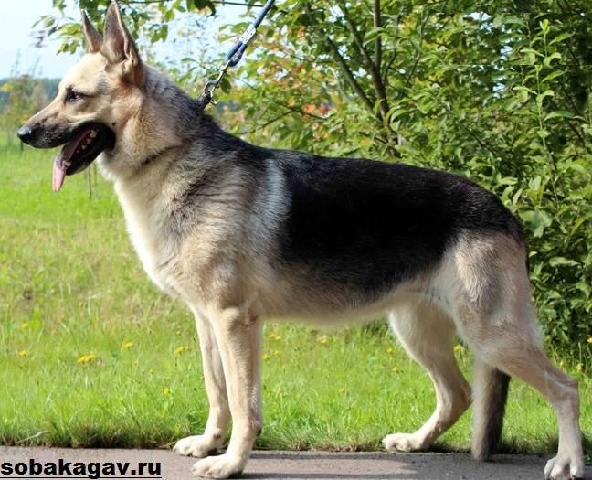 Восточно-европейская-овчарка-собака-Описание-особенности-уход-и-цена-породы-8