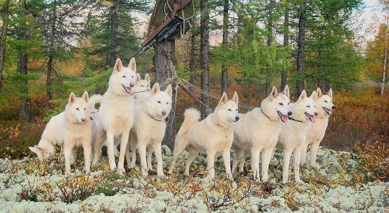 Покупка щенка западно-сибирской лайки