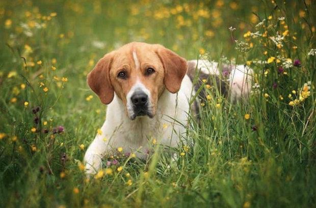 Порода собак русская пегая гончая — надёжный друг и умелый помощник настоящих охотников