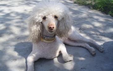 Порода собак пудель