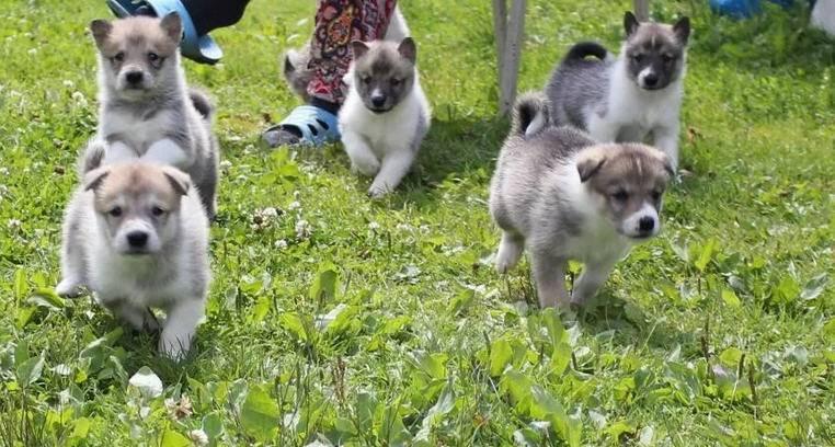 выбор щенка лайки для охоты