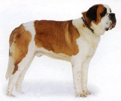 Собаки Сенбернар