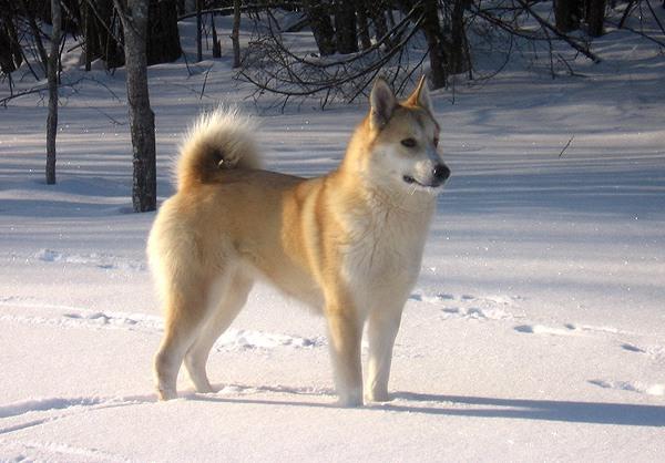 собака породы лайка