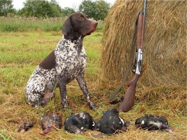 Как правильно нужно воспитывать курцхаара, приучение к охоте, дрессировка щенки и взрослого.