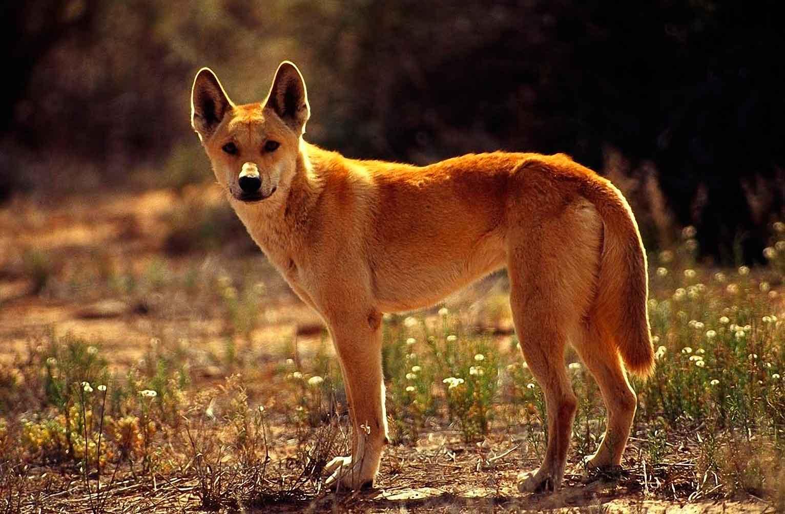 Динго обитает в пустынях и лесах