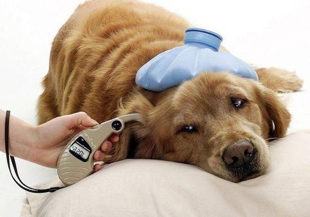 Измерение температуры у собаки
