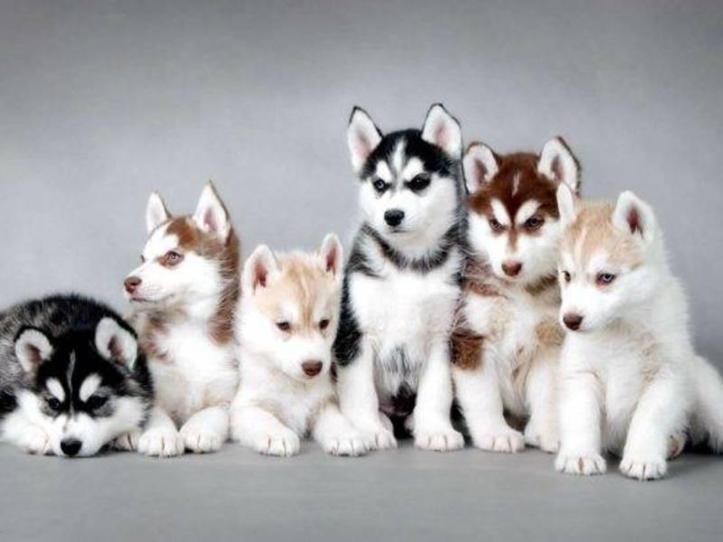 Лайка: фото щенков