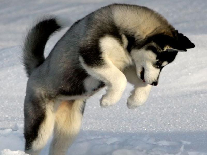 Лайка: характер собаки