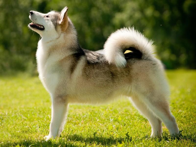 Описание принятых стандартов породы собак лайка