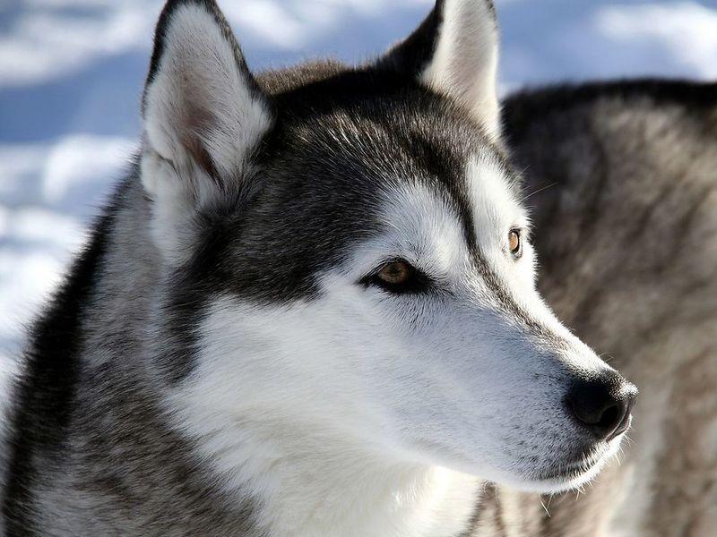 Собака лайка: характеристика