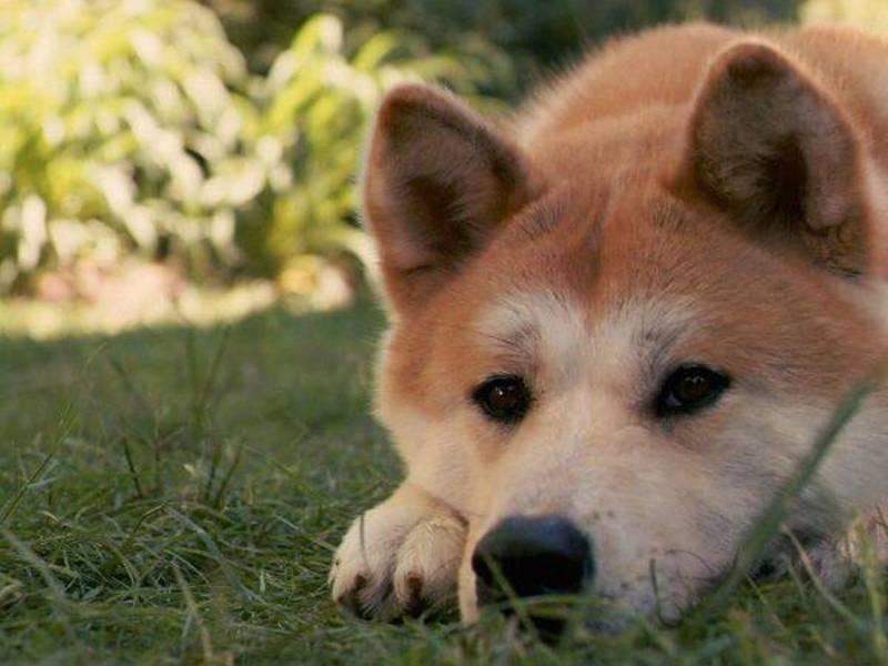 Содержание собаки породы лайка