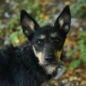 Купить скотч-терьера - Собака, Чебоксары