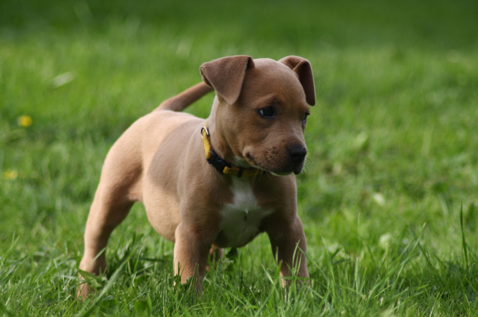 щенок американского питбультерьера