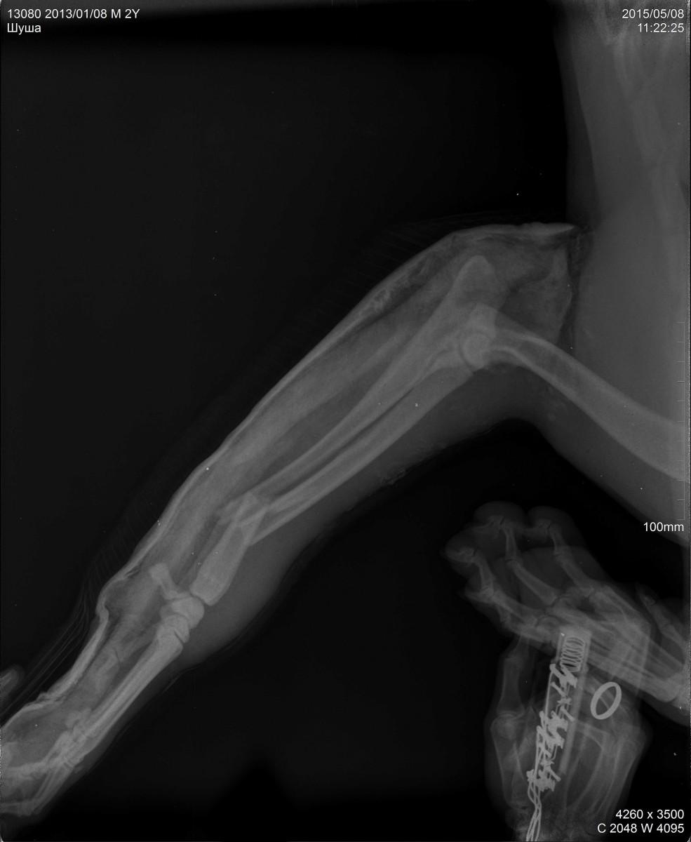 Перелом предплечья у собаки