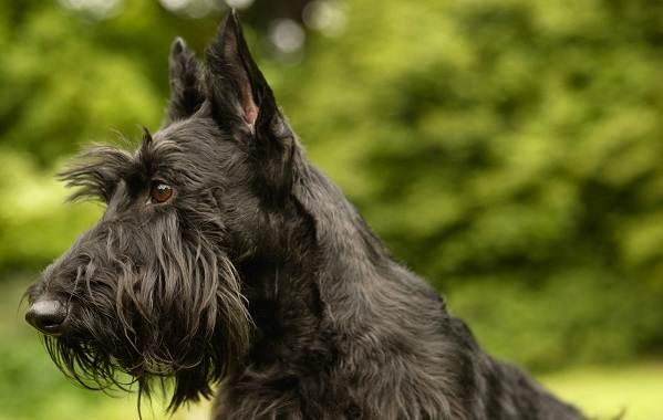 Скотч-терьер-собака-Описание-особенности-виды-уход-и-цена-породы-скотч-терьер-11