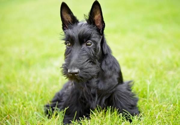 Скотч-терьер-собака-Описание-особенности-виды-уход-и-цена-породы-скотч-терьер-5