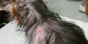 Чесотка у собак — причины возникновения и методы лечения